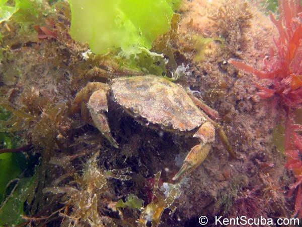 Kent Scuba local dive