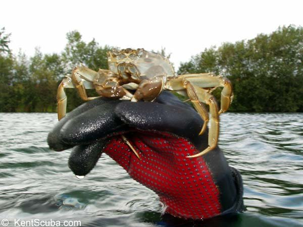 A Chinese Mitten Crab in Leybourne Lakes when diving with Kent Scuba