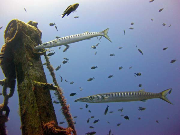 Barracuda on Um El Faroud wreck, diving with Kent Scuba