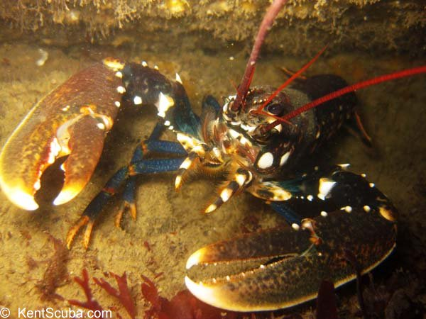 Lobster ledge on a local dive with Kent Scuba