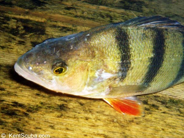 A Perch in Leybourne Lakes when diving with Kent Scuba